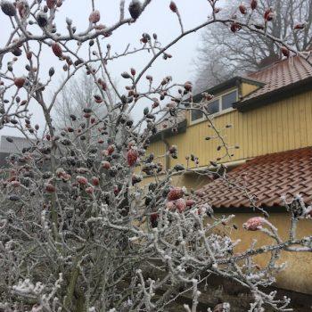 hagebutte-frost